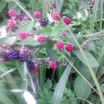 Blackberriesonpettigrew3
