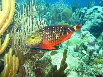 Fishstoplightparrot01