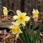 Daffodils400_1